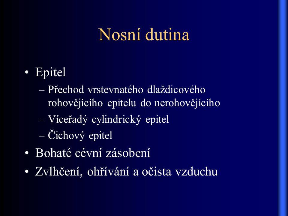Nosní dutina Epitel –Přechod vrstevnatého dlaždicového rohovějícího epitelu do nerohovějícího –Víceřadý cylindrický epitel –Čichový epitel Bohaté cévn