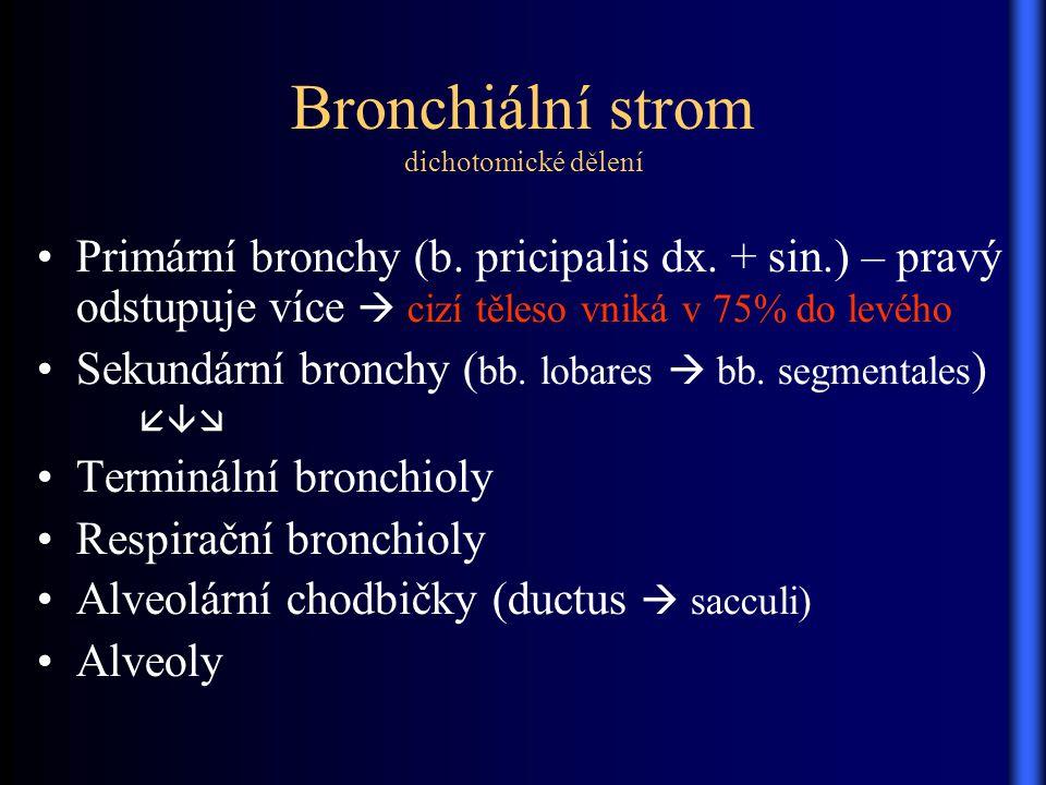 Bronchiální strom dichotomické dělení Primární bronchy (b. pricipalis dx. + sin.) – pravý odstupuje více  cizí těleso vniká v 75% do levého Sekundárn