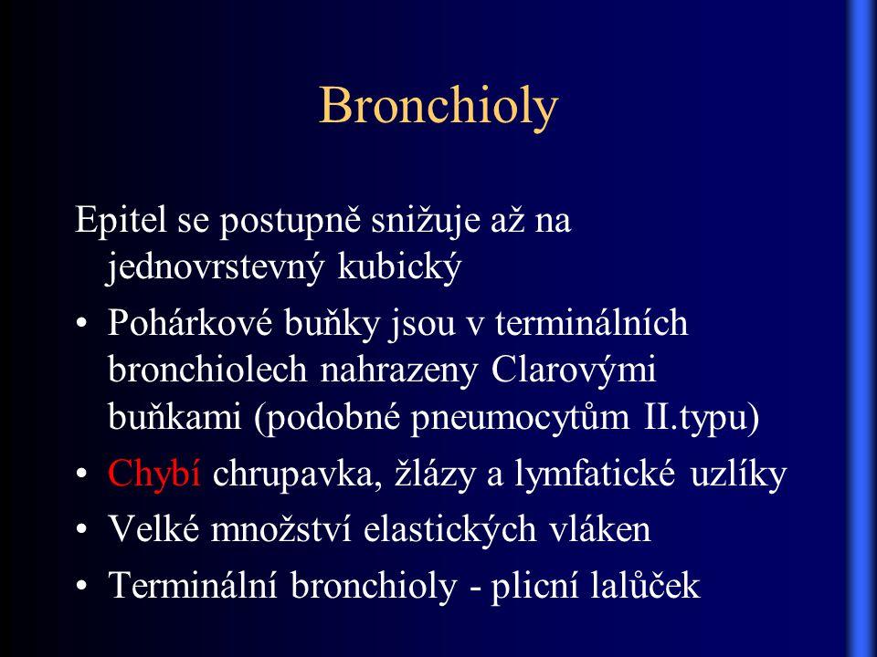 Bronchioly Epitel se postupně snižuje až na jednovrstevný kubický Pohárkové buňky jsou v terminálních bronchiolech nahrazeny Clarovými buňkami (podobn