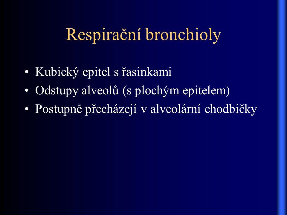 Respirační bronchioly Kubický epitel s řasinkami Odstupy alveolů (s plochým epitelem) Postupně přecházejí v alveolární chodbičky