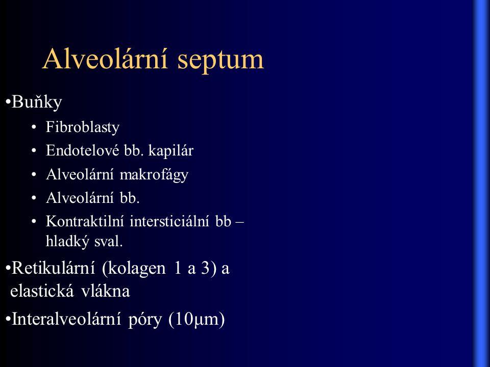 Alveolární septum Buňky Fibroblasty Endotelové bb. kapilár Alveolární makrofágy Alveolární bb. Kontraktilní intersticiální bb – hladký sval. Retikulár