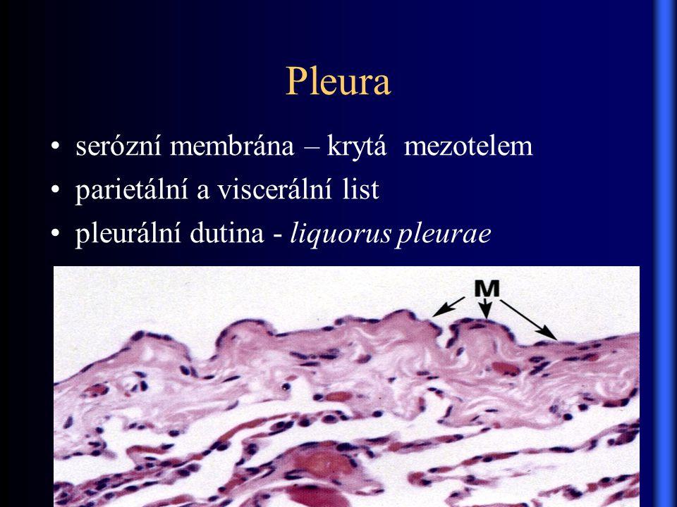 Pleura serózní membrána – krytá mezotelem parietální a viscerální list pleurální dutina - liquorus pleurae