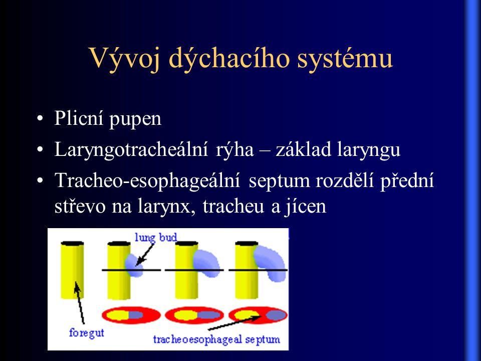 Vývoj dýchacího systému Plicní pupen Laryngotracheální rýha – základ laryngu Tracheo-esophageální septum rozdělí přední střevo na larynx, tracheu a jí