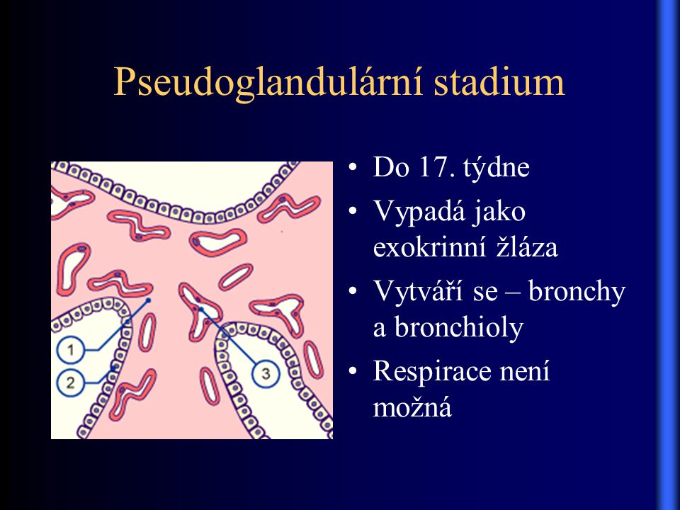 Pseudoglandulární stadium Do 17. týdne Vypadá jako exokrinní žláza Vytváří se – bronchy a bronchioly Respirace není možná