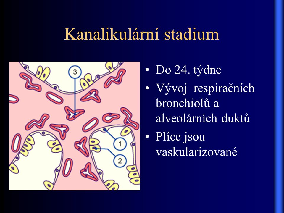 Kanalikulární stadium Do 24. týdne Vývoj respiračních bronchiolů a alveolárních duktů Plíce jsou vaskularizované
