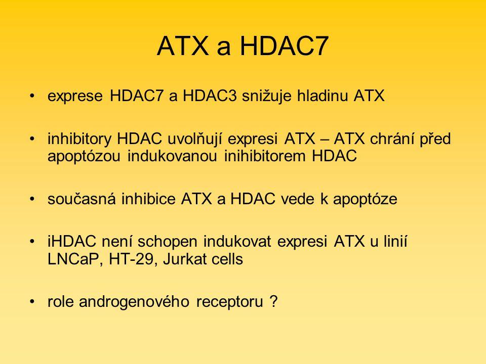 ATX a HDAC7 exprese HDAC7 a HDAC3 snižuje hladinu ATX inhibitory HDAC uvolňují expresi ATX – ATX chrání před apoptózou indukovanou inihibitorem HDAC současná inhibice ATX a HDAC vede k apoptóze iHDAC není schopen indukovat expresi ATX u linií LNCaP, HT-29, Jurkat cells role androgenového receptoru ?