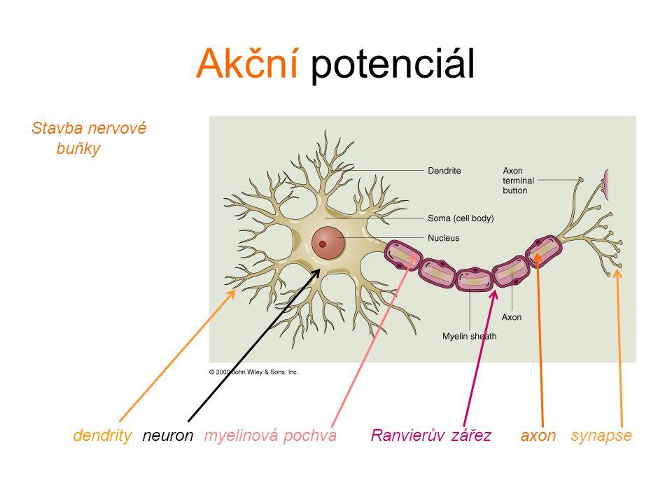 Akční potenciál Stavba nervové buňky dendrity neuron myelinová pochva Ranvierův zářez axon synapse