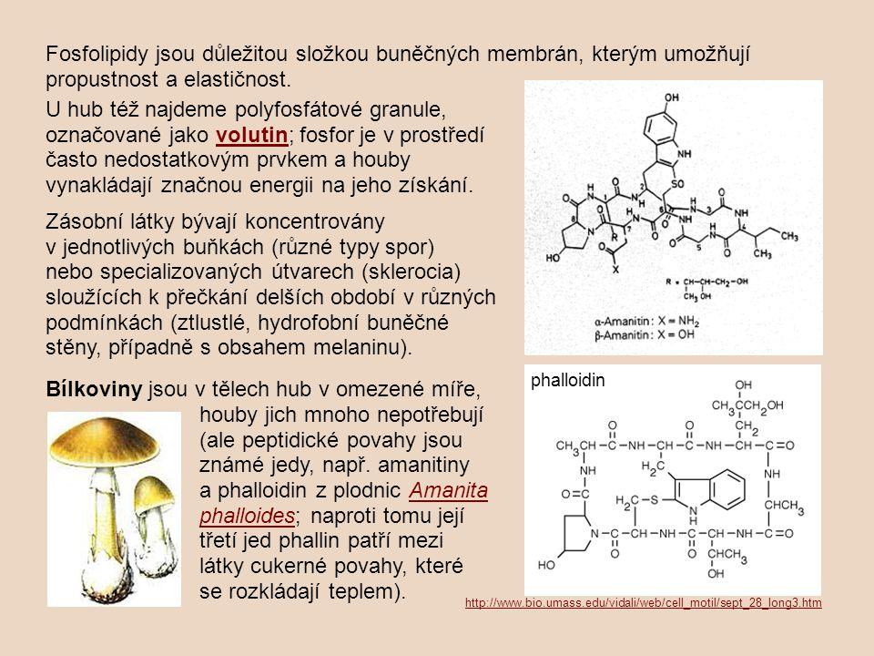 U hub též najdeme polyfosfátové granule, označované jako volutin; fosfor je v prostředí často nedostatkovým prvkem a houby vynakládají značnou energii