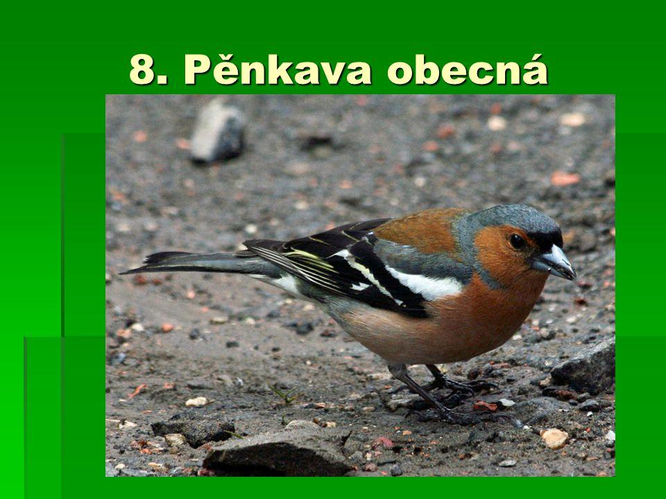 8. Pěnkava obecná