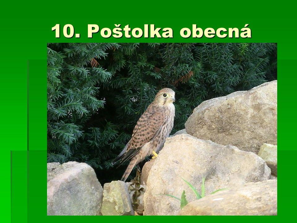 10. Poštolka obecná