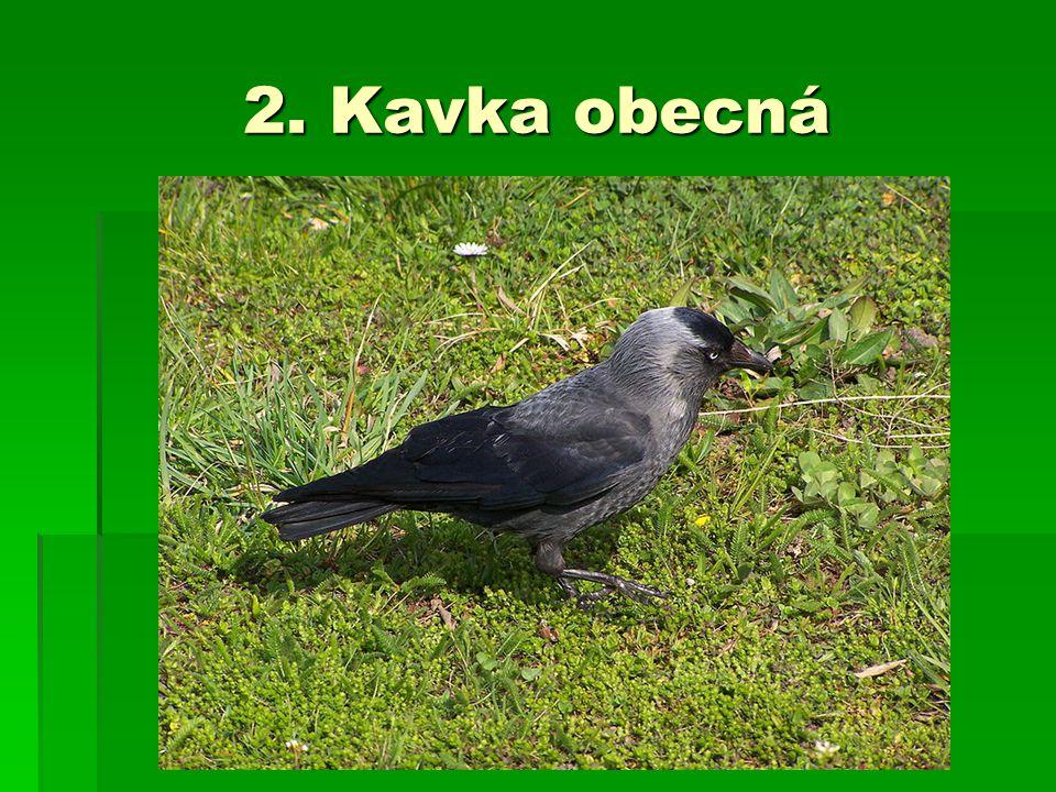 2. Kavka obecná
