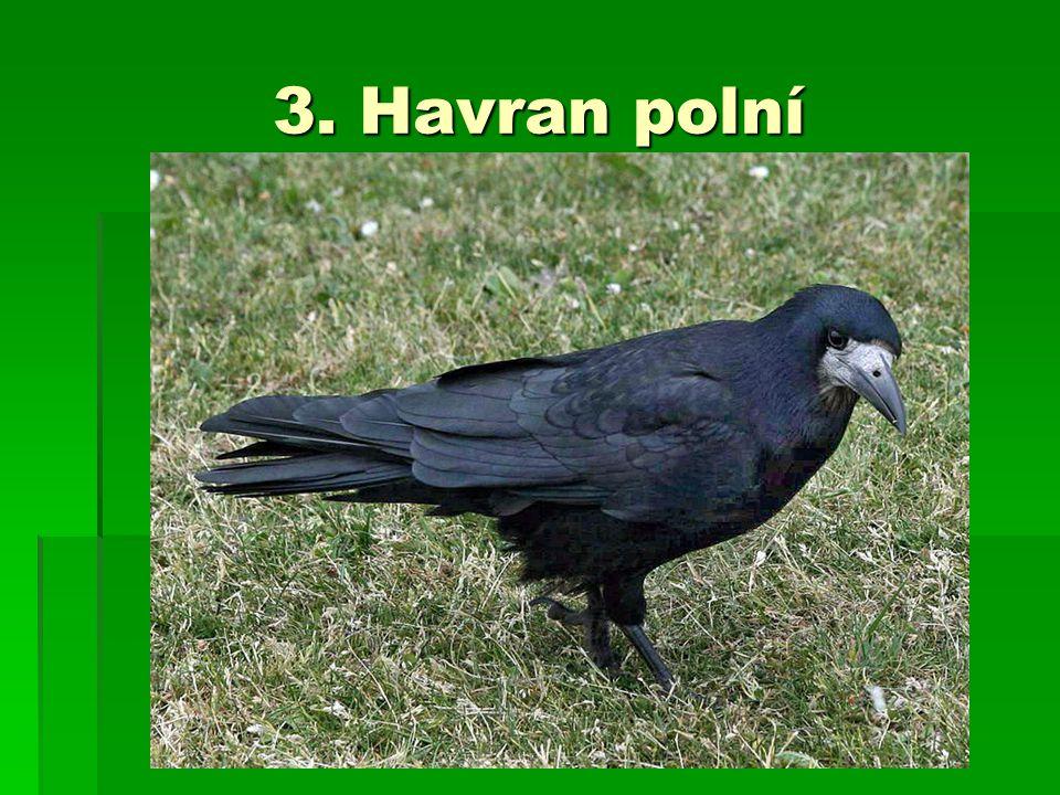 3. Havran polní
