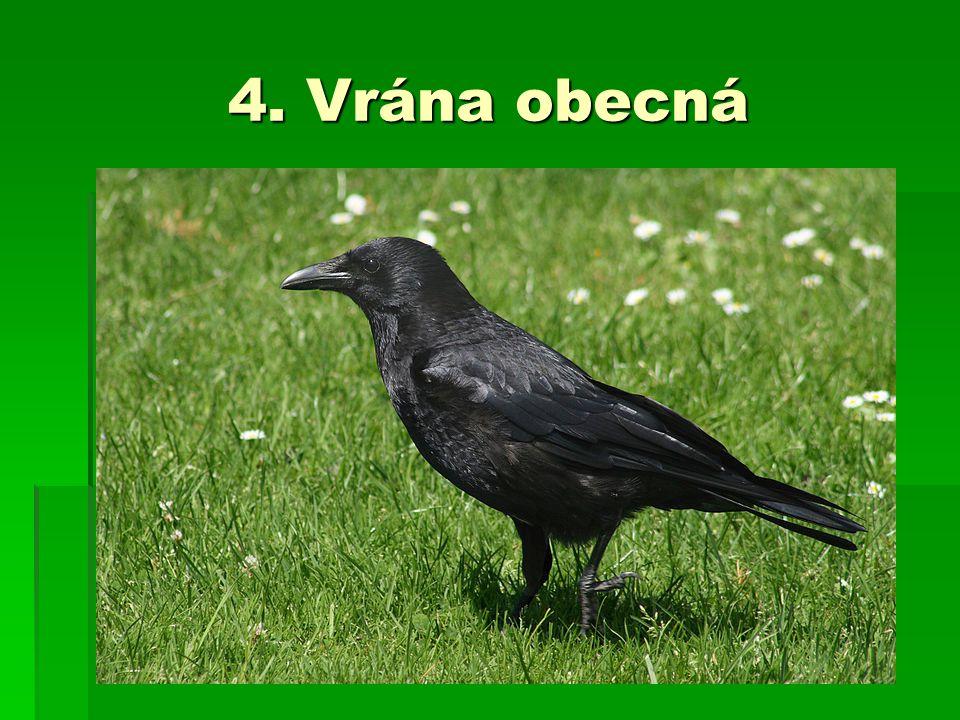 5. Krkavec velký