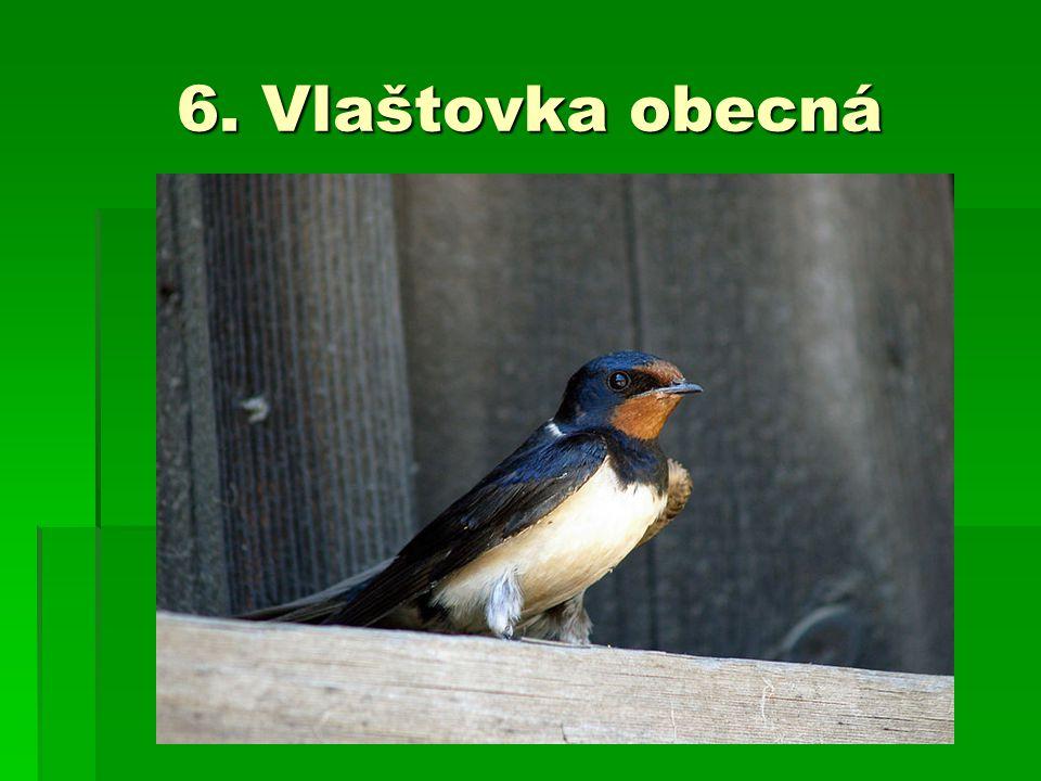 6. Vlaštovka obecná