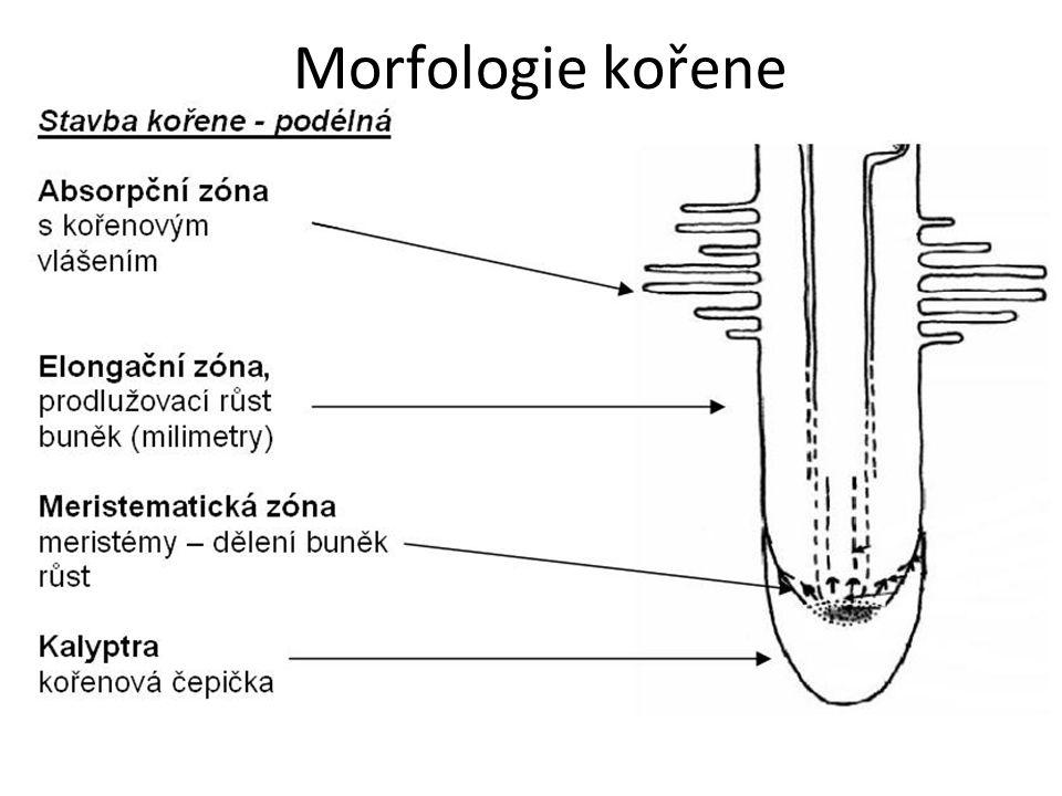 Morfologie kořene