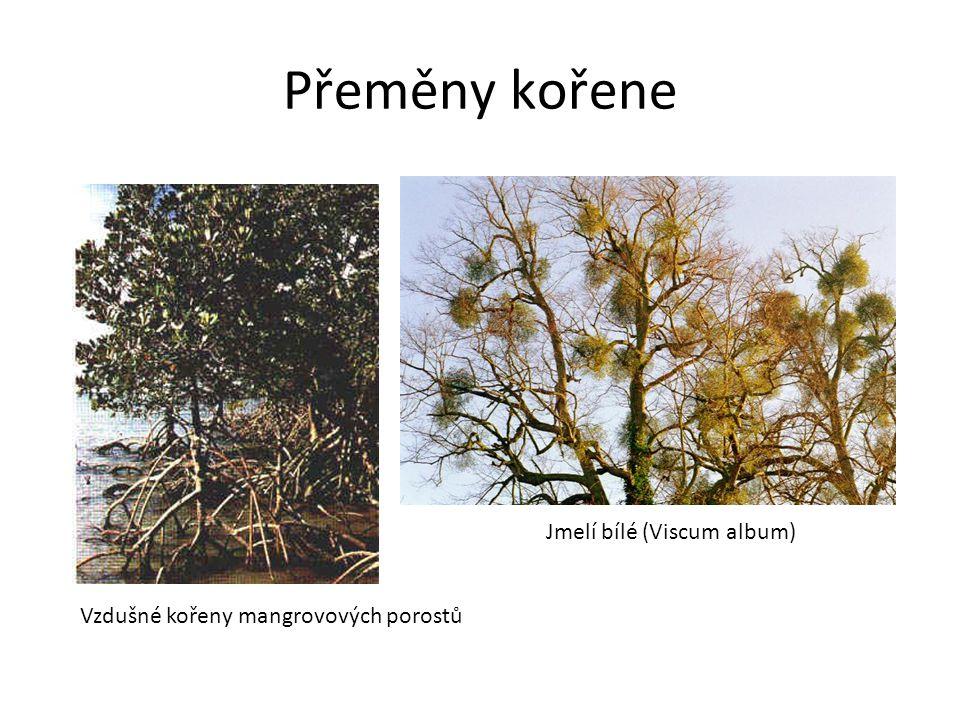 Přeměny kořene Jmelí bílé (Viscum album) Vzdušné kořeny mangrovových porostů