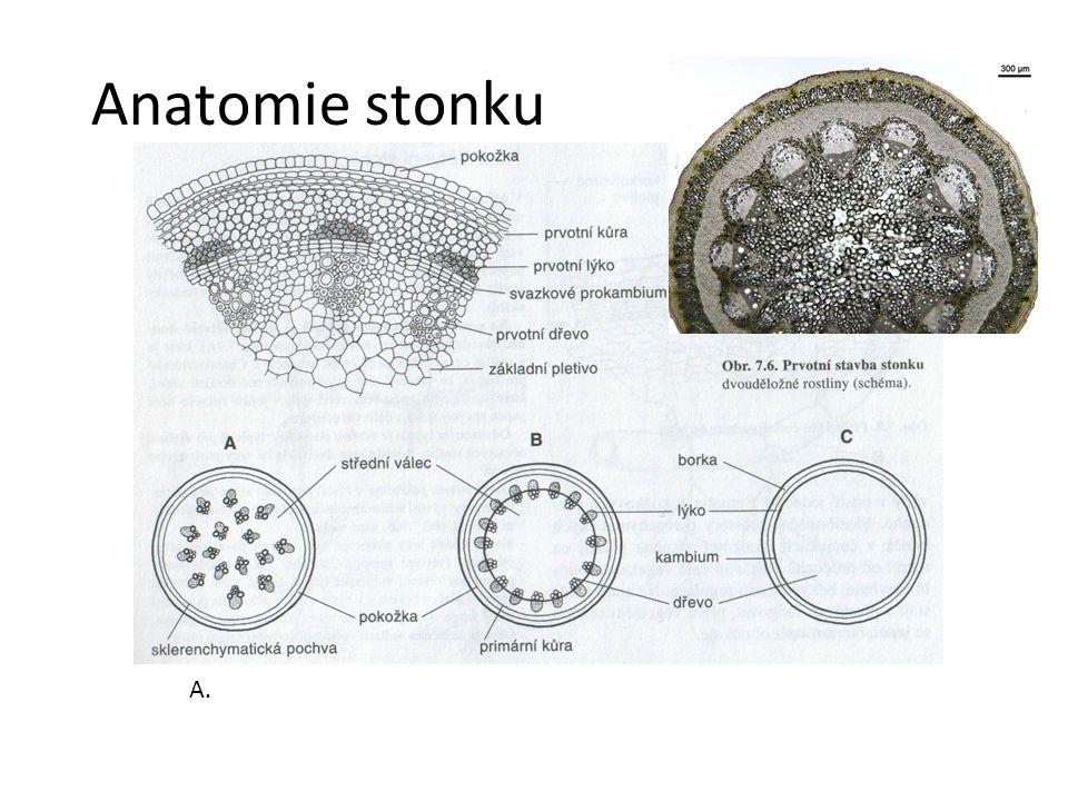 Anatomie stonku A.jednoděložná rostlina B. dvouděložná bylina C. nahosemenné a dvouděložné dřeviny