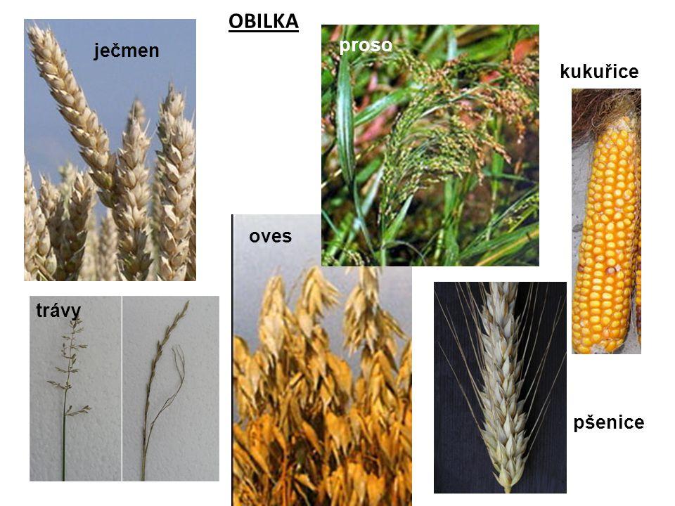 OBILKA ječmen oves kukuřice proso trávy pšenice