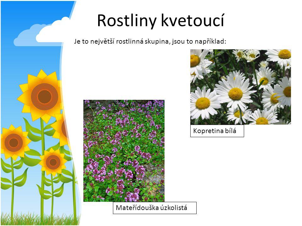 Rostliny kvetoucí Je to největší rostlinná skupina, jsou to například: Kopretina bílá Mateřídouška úzkolistá