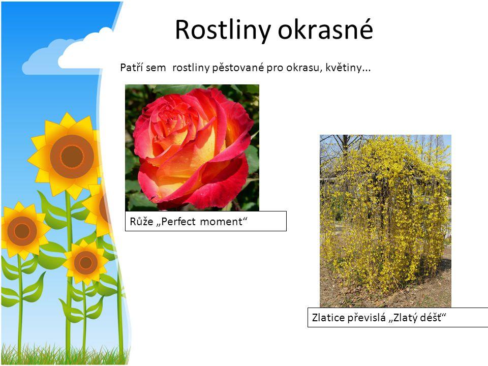"""Rostliny okrasné Patří sem rostliny pěstované pro okrasu, květiny... Růže """"Perfect moment"""" Zlatice převislá """"Zlatý déšť"""""""