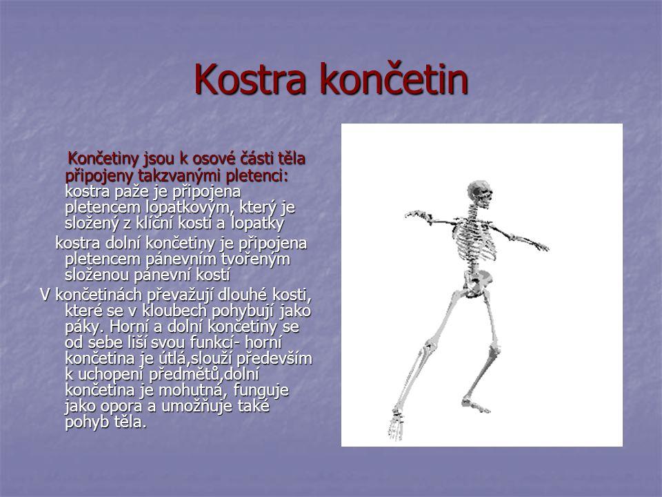Kostra hrudníku Hrudník je zvláštní část kostry tvořící ochranné pouzdro pro plíce a srdce. Je tvořen mohutnou hrudní kostí, na kterou se upínají žebr