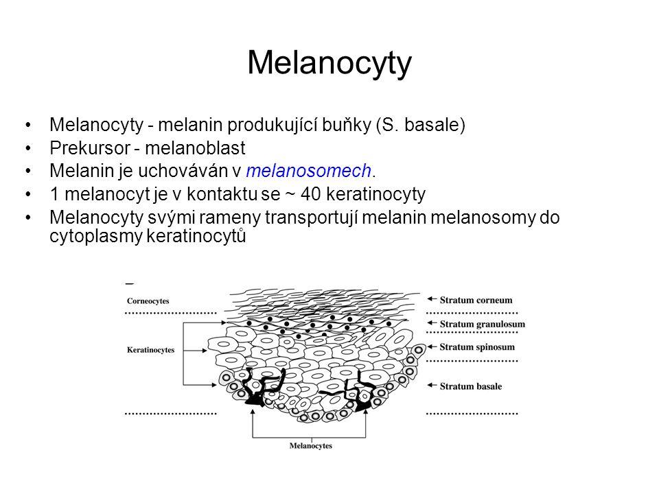 Melanocyty Melanocyty - melanin produkující buňky (S. basale) Prekursor - melanoblast Melanin je uchováván v melanosomech. 1 melanocyt je v kontaktu s