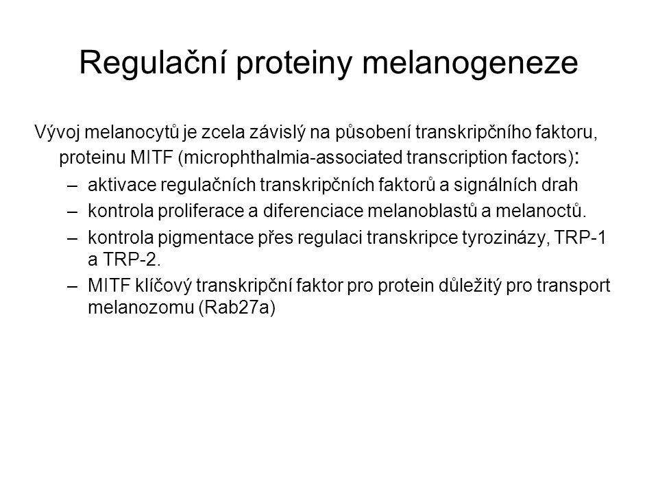 Regulační proteiny melanogeneze Vývoj melanocytů je zcela závislý na působení transkripčního faktoru, proteinu MITF (microphthalmia-associated transcr