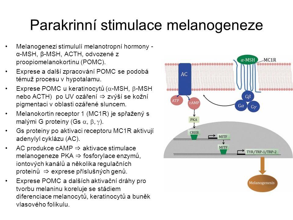 Parakrinní stimulace melanogeneze Melanogenezi stimululí melanotropní hormony - α-MSH, β-MSH, ACTH, odvozené z proopiomelanokortinu (POMC). Exprese a