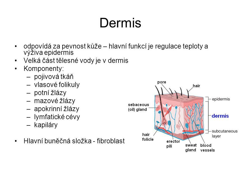 Dermis odpovídá za pevnost kůže – hlavní funkcí je regulace teploty a výživa epidermis Velká část tělesné vody je v dermis Komponenty: –pojivová tkáň