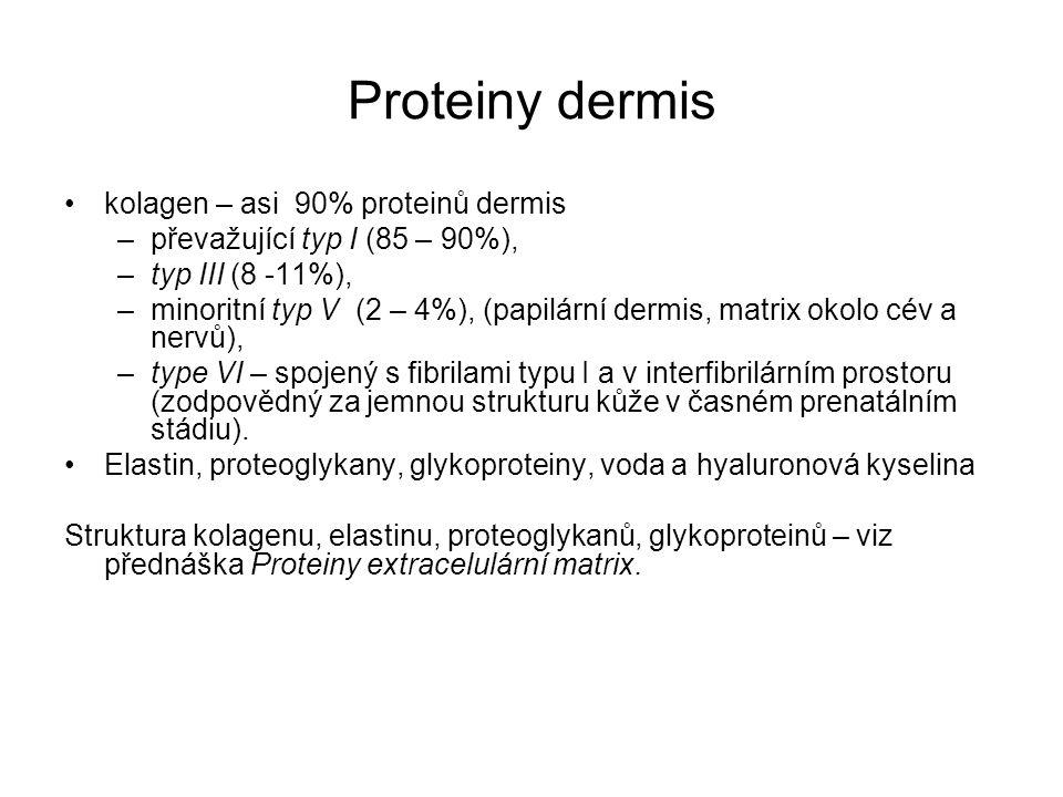 Proteiny dermis kolagen – asi 90% proteinů dermis –převažující typ I (85 – 90%), –typ III (8 -11%), –minoritní typ V (2 – 4%), (papilární dermis, matr
