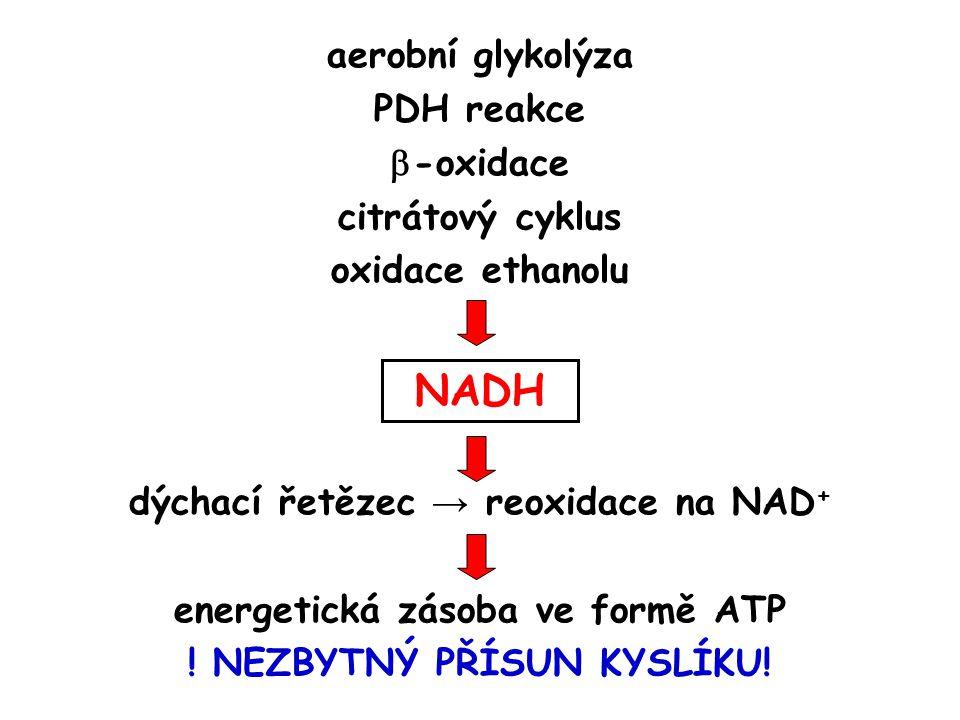 aerobní glykolýza PDH reakce  -oxidace citrátový cyklus oxidace ethanolu NADH dýchací řetězec → reoxidace na NAD + energetická zásoba ve formě ATP .