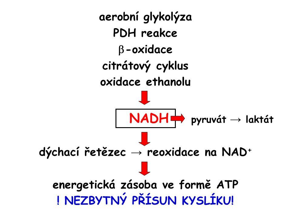 aerobní glykolýza PDH reakce  -oxidace citrátový cyklus oxidace ethanolu NADH pyruvát → laktát dýchací řetězec → reoxidace na NAD + energetická zásoba ve formě ATP .