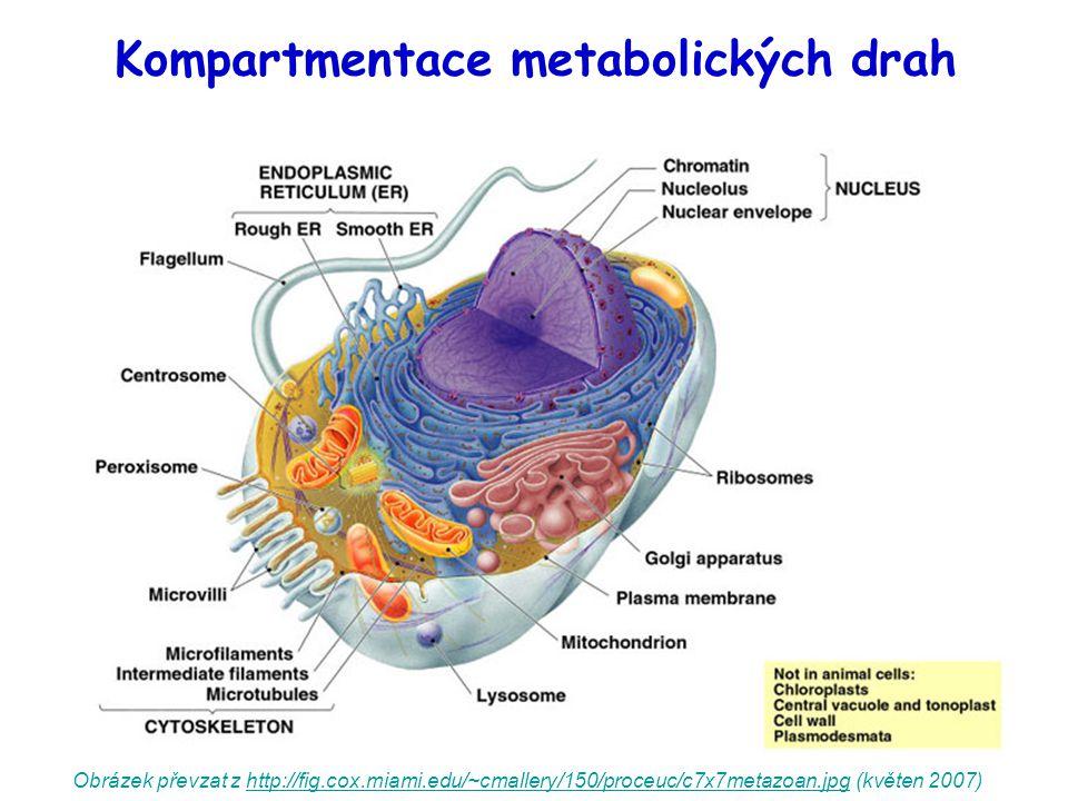 Kompartmentace metabolických drah Obrázek převzat z http://fig.cox.miami.edu/~cmallery/150/proceuc/c7x7metazoan.jpg (květen 2007)http://fig.cox.miami.edu/~cmallery/150/proceuc/c7x7metazoan.jpg
