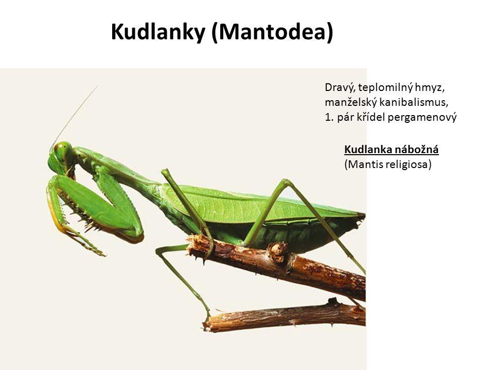 Kudlanky (Mantodea) Dravý, teplomilný hmyz, manželský kanibalismus, 1. pár křídel pergamenový Kudlanka nábožná (Mantis religiosa)