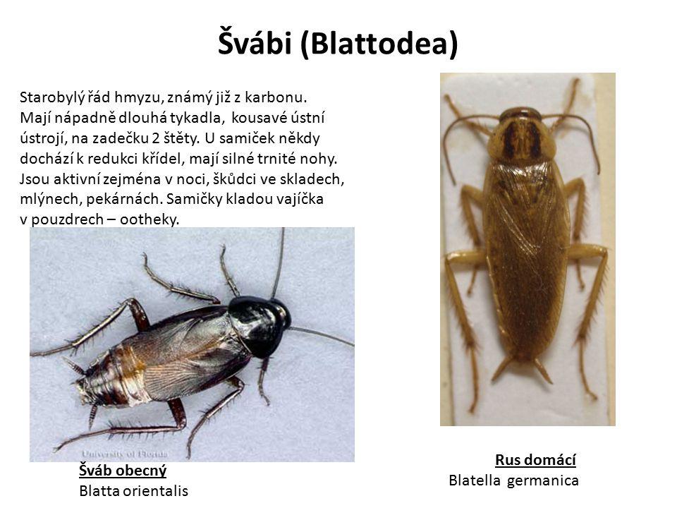 Švábi (Blattodea) Rus domácí Blatella germanica Šváb obecný Blatta orientalis Starobylý řád hmyzu, známý již z karbonu. Mají nápadně dlouhá tykadla, k