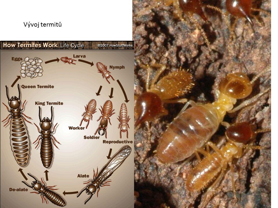 Vývoj termitů