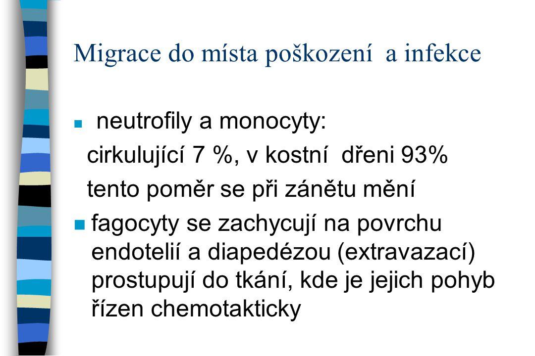 Migrace do místa poškození a infekce n neutrofily a monocyty: cirkulující 7 %, v kostní dřeni 93% tento poměr se při zánětu mění n fagocyty se zachycu