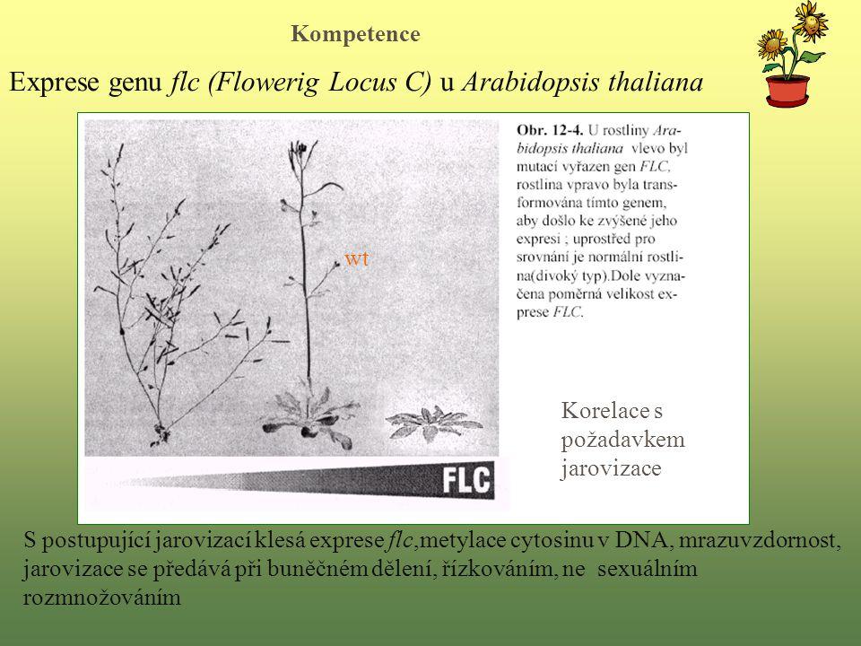 Exprese genu flc (Flowerig Locus C) u Arabidopsis thaliana Korelace s požadavkem jarovizace wt S postupující jarovizací klesá exprese flc,metylace cytosinu v DNA, mrazuvzdornost, jarovizace se předává při buněčném dělení, řízkováním, ne sexuálním rozmnožováním Kompetence