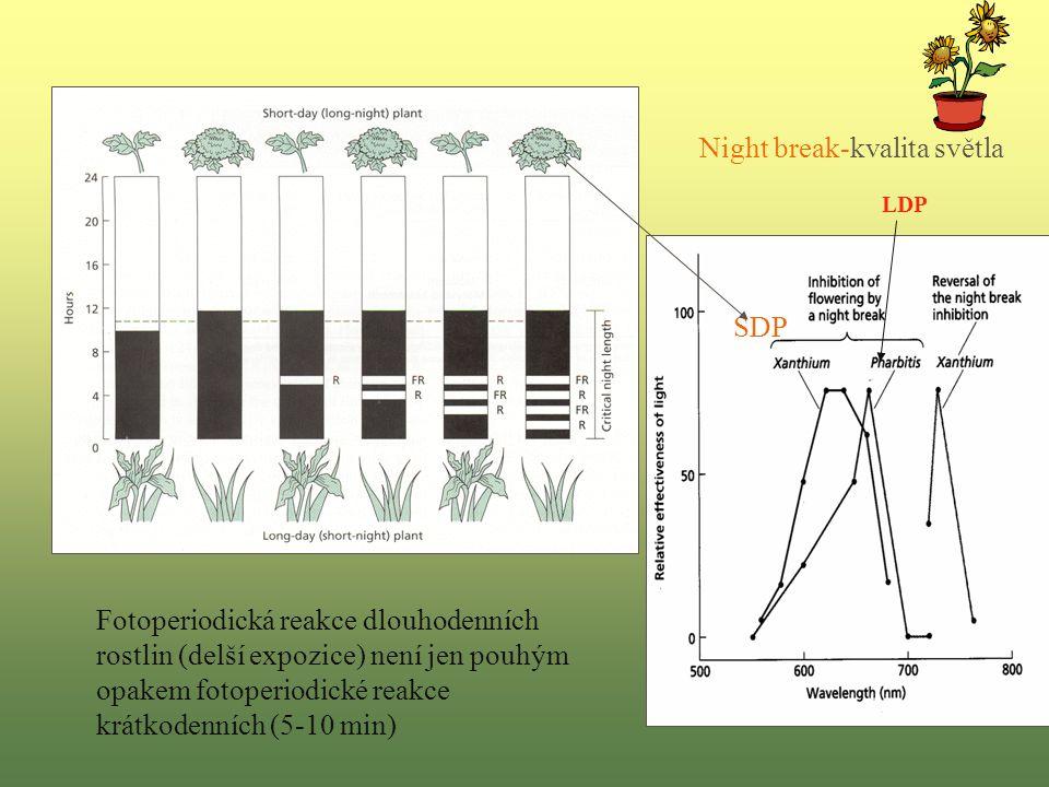 Fotoperiodická reakce dlouhodenních rostlin (delší expozice) není jen pouhým opakem fotoperiodické reakce krátkodenních (5-10 min) Night break-kvalita světla SDP LDP
