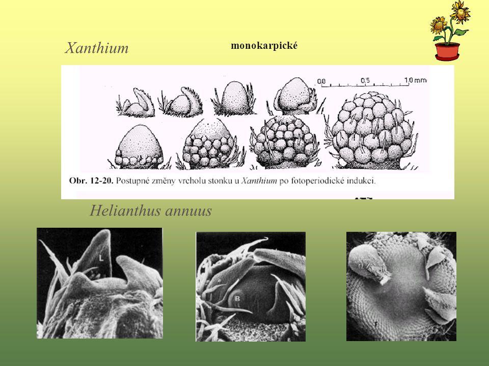 Helianthus annuus Xanthium monokarpické