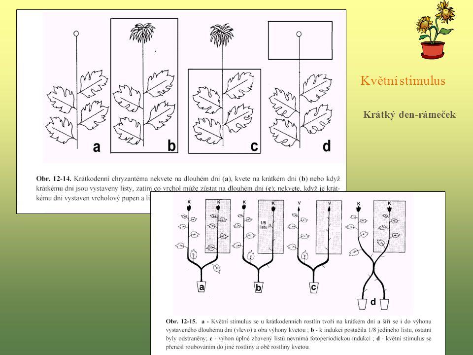 Květní stimulus Krátký den-rámeček