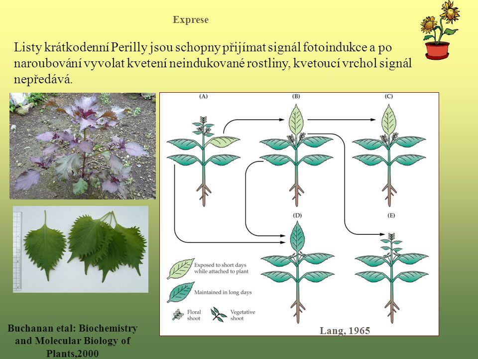 Listy krátkodenní Perilly jsou schopny přijímat signál fotoindukce a po naroubování vyvolat kvetení neindukované rostliny, kvetoucí vrchol signál nepředává.