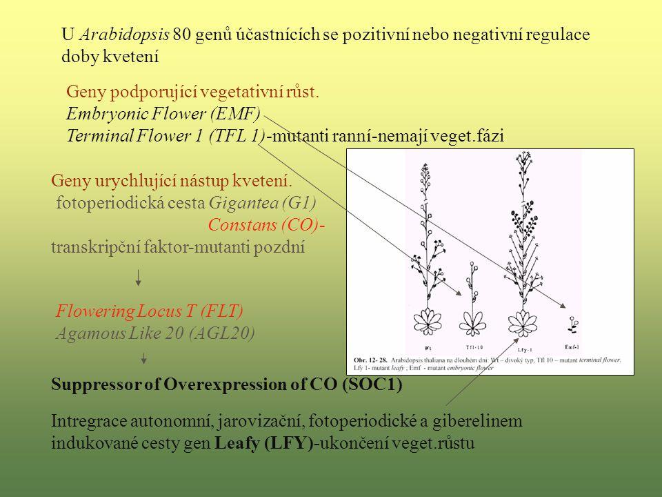 Geny podporující vegetativní růst.
