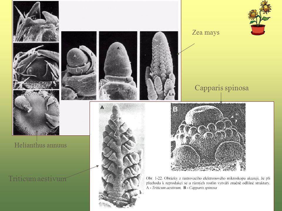 Triticum aestivum Capparis spinosa Helianthus annuus Zea mays