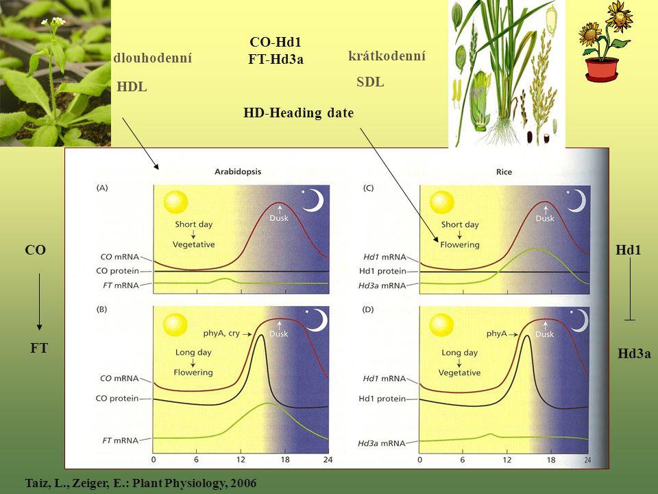 dlouhodenní HDL krátkodenní SDL Taiz, L., Zeiger, E.: Plant Physiology, 2006 HD-Heading date CO-Hd1 FT-Hd3a CO FT Hd1 Hd3a