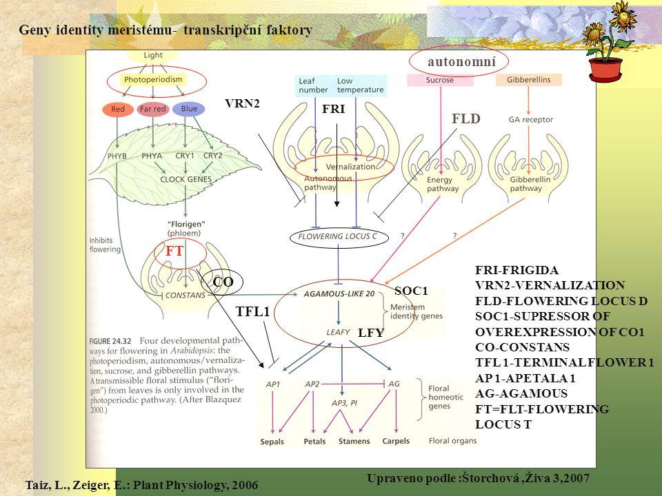 FT Geny identity meristému- transkripční faktory LFY SOC1 FRI CO FLD TFL1 Upraveno podle :Štorchová,Živa 3,2007 FRI-FRIGIDA VRN2-VERNALIZATION FLD-FLOWERING LOCUS D SOC1-SUPRESSOR OF OVEREXPRESSION OF CO1 CO-CONSTANS TFL 1-TERMINAL FLOWER 1 AP 1-APETALA 1 AG-AGAMOUS FT=FLT-FLOWERING LOCUS T VRN2 autonomní Taiz, L., Zeiger, E.: Plant Physiology, 2006