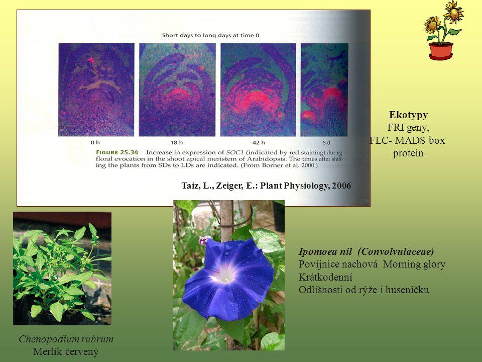 Chenopodium rubrum Merlík červený Ipomoea nil (Convolvulaceae) Povíjnice nachová Morning glory Krátkodenní Odlišnosti od rýže i huseníčku Taiz, L., Zeiger, E.: Plant Physiology, 2006 Ekotypy FRI geny, FLC- MADS box protein