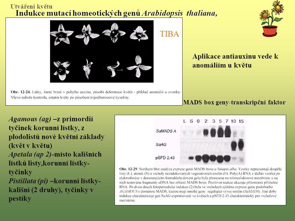 Aplikace antiauxinu vede k anomáliím u květu Indukce mutací homeotických genů Arabidopsis thaliana, Agamous (ag) –z primordií tyčinek korunní lístky, z plodolistů nové květní základy (květ v květu) Apetala (ap 2)-místo kališních lístků listy,korunní lístky- tyčinky Pistillata (pi) –korunní lístky- kališní (2 druhy), tyčinky v pestíky TIBA MADS box geny-transkripční faktor Utváření květu