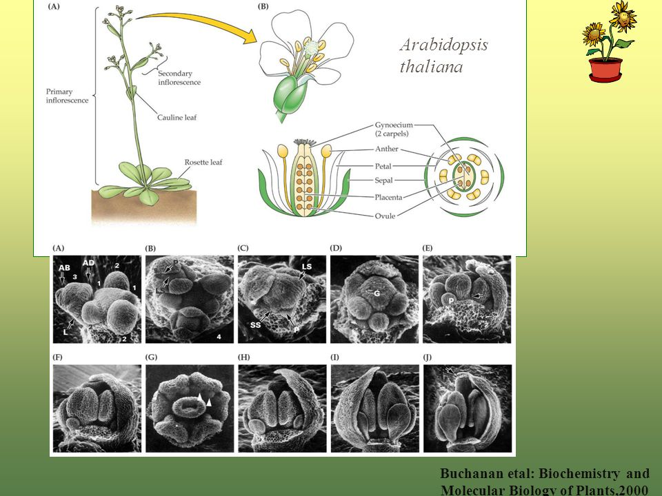 Arabidopsis thaliana Buchanan etal: Biochemistry and Molecular Biology of Plants,2000
