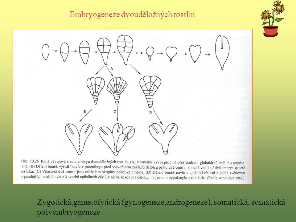 Embryogeneze dvouděložných rostlin Zygotická,gametofytická (gynogeneze,androgeneze), somatická, somatická polyembryogeneze